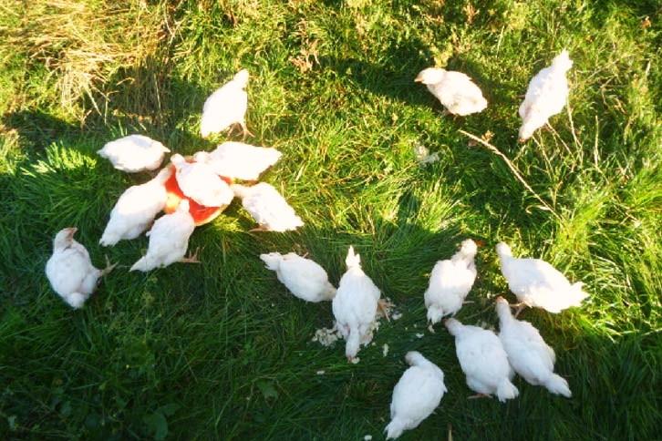 Liberación 17 pollos Rep. Checa