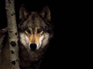 wild-wolf-wallpaper-1 (1)
